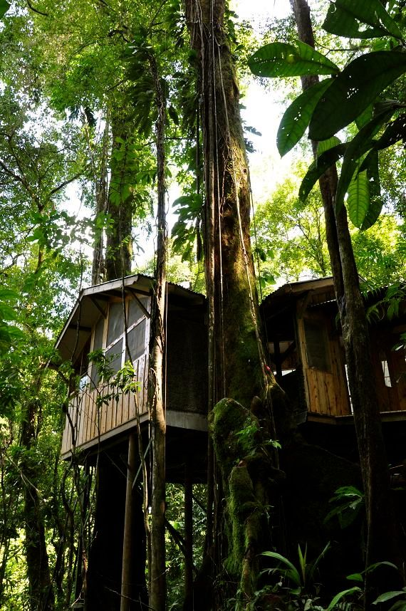 The Casa Mariposa treehouse at Finca Bellavista. One of the host trees is a giant Pilon.