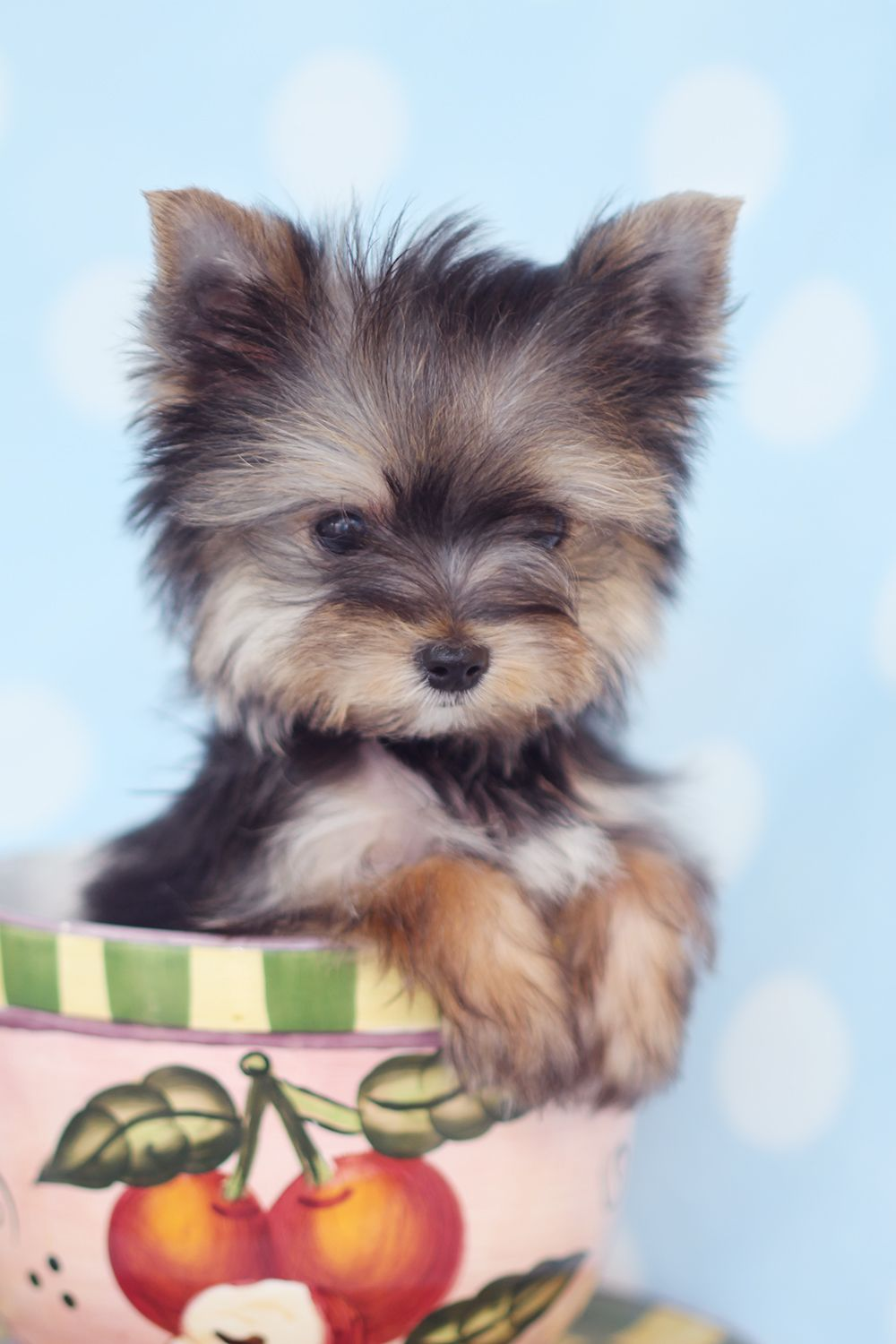 Pin By Elaine Potter On Love Dogs Yorkie Puppy Teacup Puppies