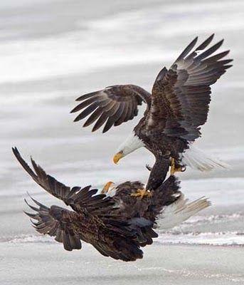 Battling eagles, by Rob Palmer