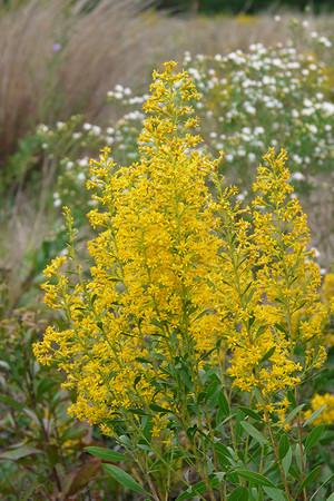 Showy Goldenrod Solidago Speciosa In 2020 Plants Prairie Garden Native Plant Gardening