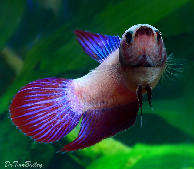 Common betta fish diseases for List of fish that can live with bettas