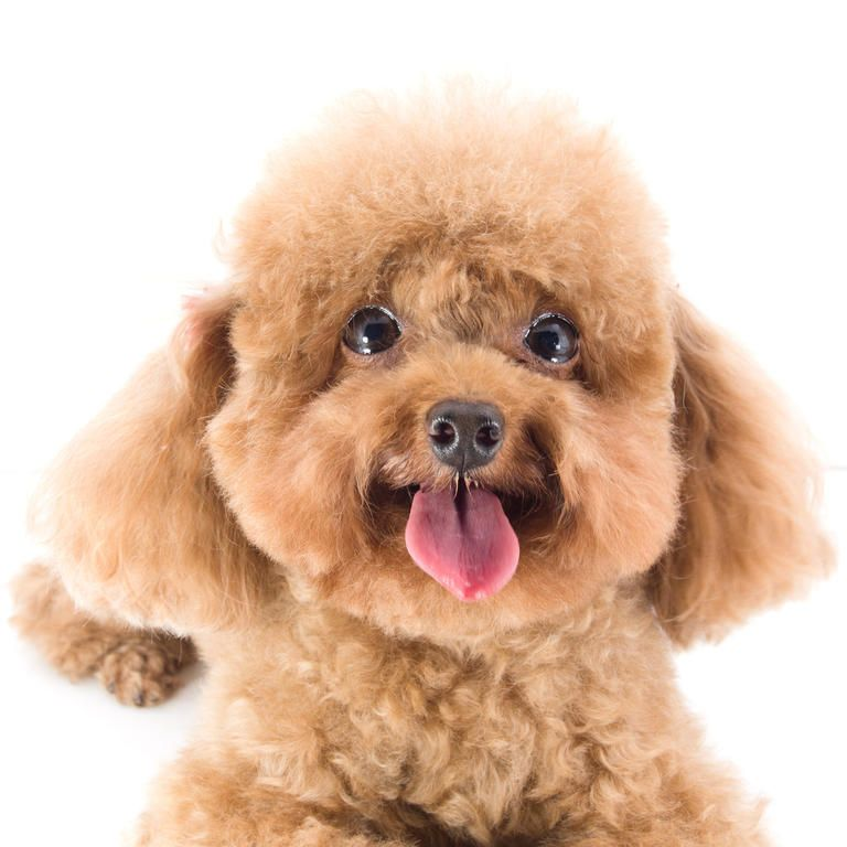 Poodle Army Toy Poodle Dogs Breed Information Omlet Dogs