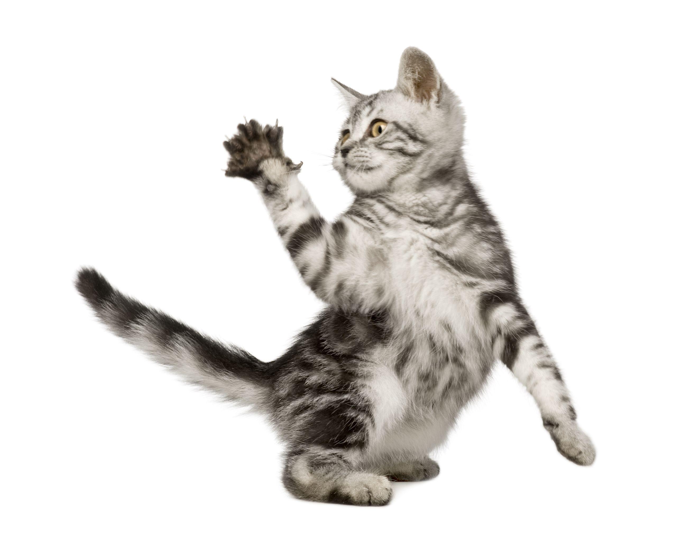Pin by on Siberian Cat Kitten names