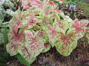 Raspberry Moon Caladiums One Of My Favorites Love The Chartreuse And Pink Combination