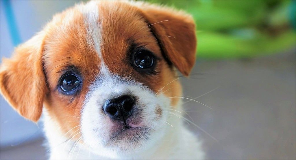 Cute Puppy Stare Pet Muzzle Wallapper Dog Wallpaper Cute Dogs Little Dogs