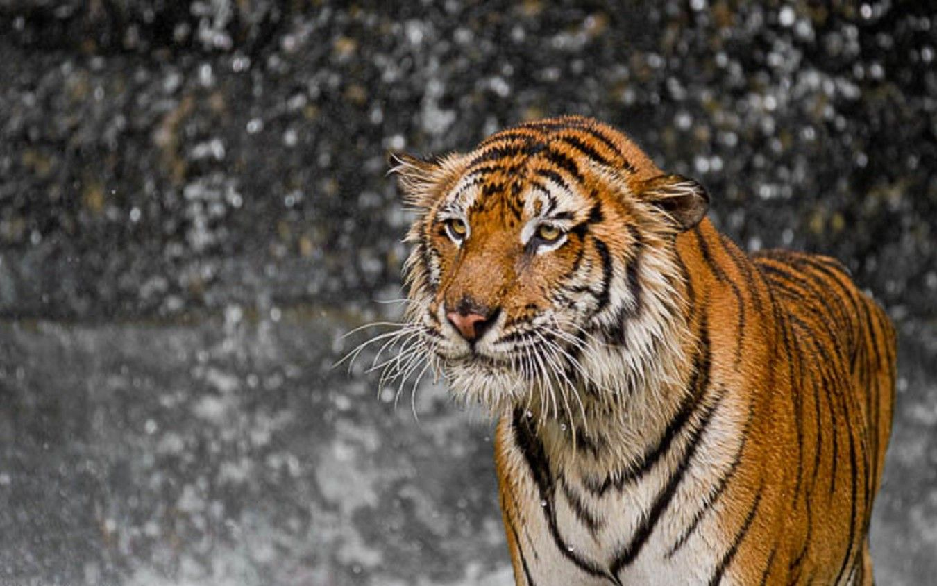 Shake It Off... Tiger photography, Animals beautiful