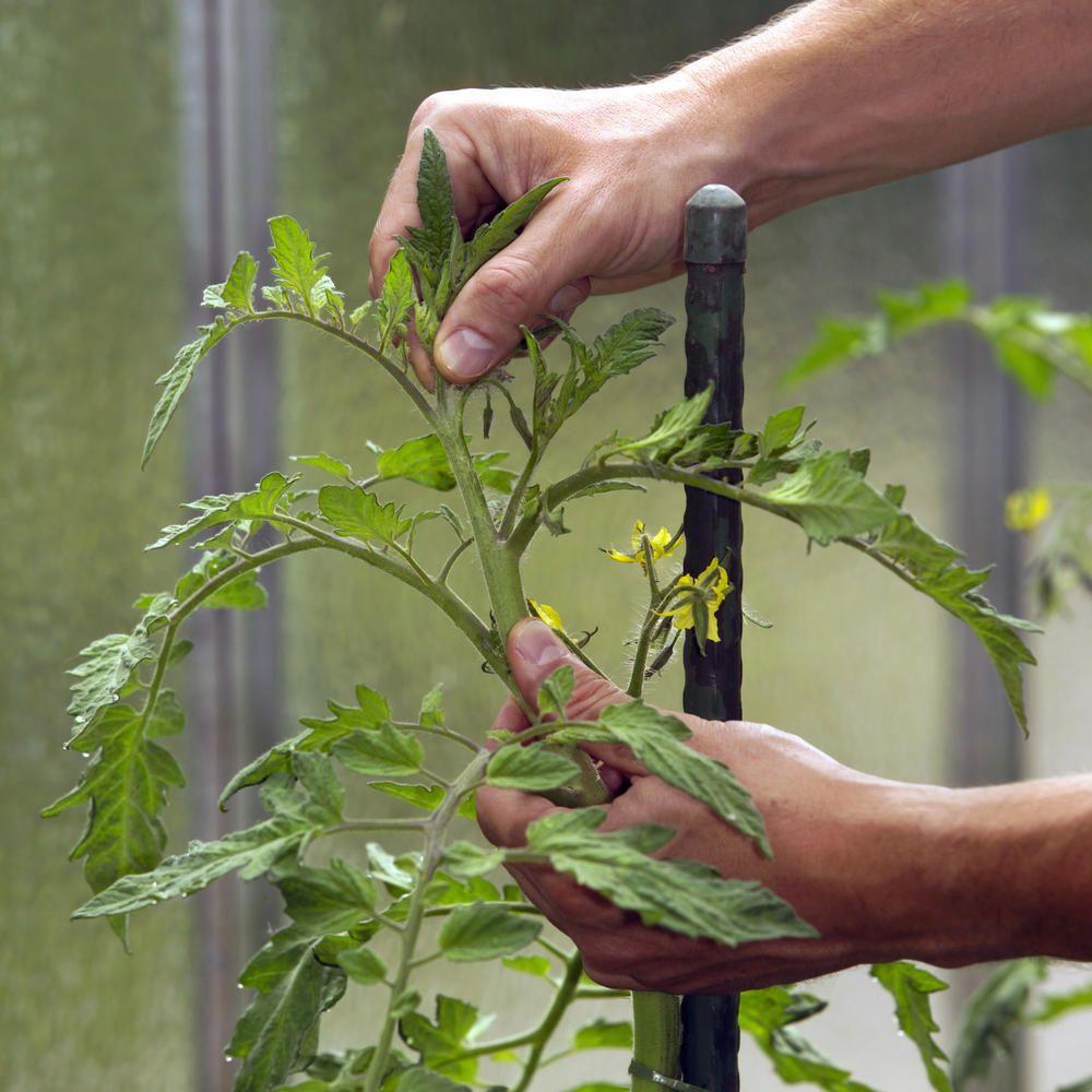 Tomaten Ausgeizen So Geht S Tomaten Garten Hochbeet Pflanzen Gemuse Anpflanzen