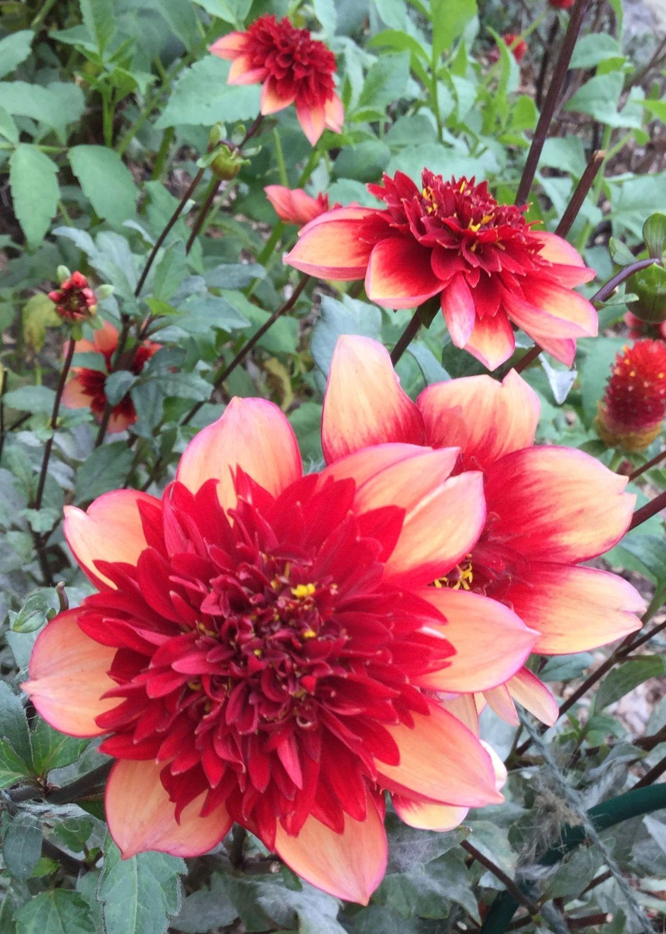Gitty Up Collarette Dahlia Rainbow Garden Amazing Flowers Dahlia
