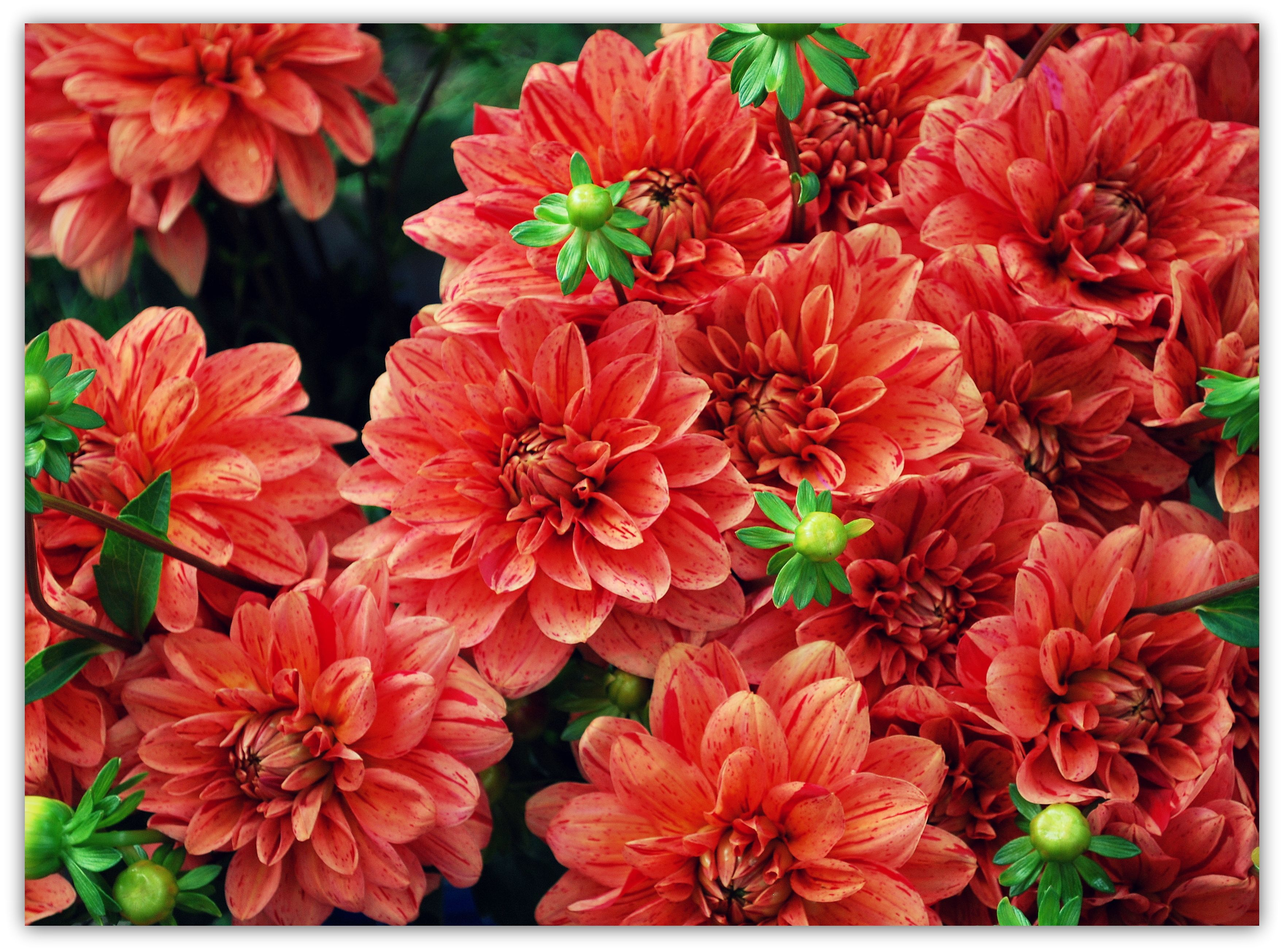 Coral dahlias are beautiful and peaking around september coastal coral dahlias are beautiful and peaking around september izmirmasajfo