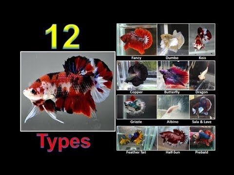12 Types Of Betta Fish Names Colors And Tails Part 2 Youtube Betta Fish Types Betta Fish Betta