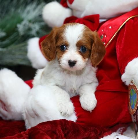 Cavapoo Puppies For Sale In Whitchurch Shropshire Cavapoo