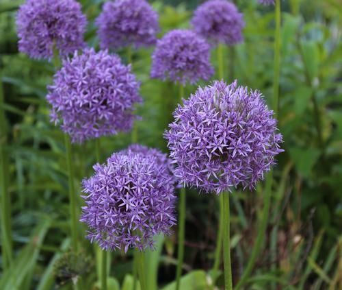 Learn All About Alliums Including How To Plant The Bulbs When Allium