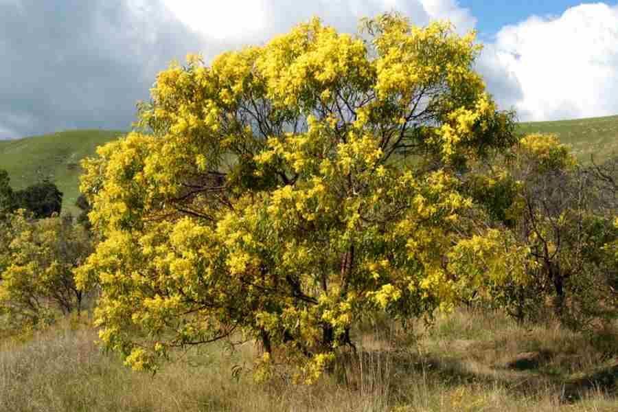 Acacia pycnantha Golden Wattle Has Evergreen foliage