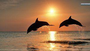 Dauphins sautant au coucher du soleil, H....