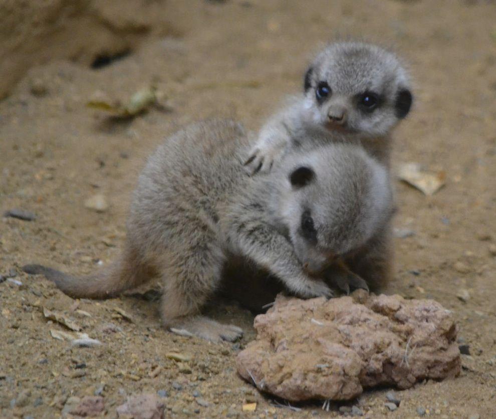キュートすぎるミーアキャットの赤ちゃんの写真20枚 ミーアキャット 動物 かわいい 可愛すぎる動物