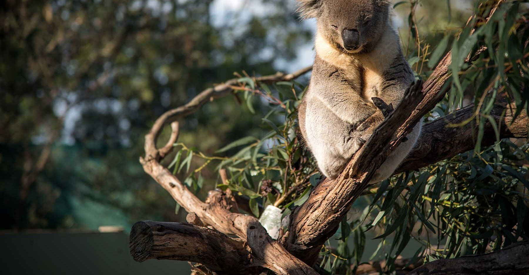 Koalas May Become Extinct In Part Of Australia By 2050 Government Study Finds In 2020 Koalas Extinction Australian Animals