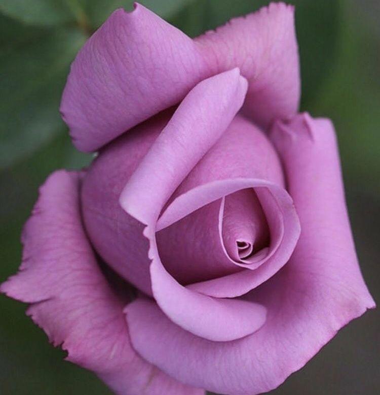 Фиолетовые розы фото