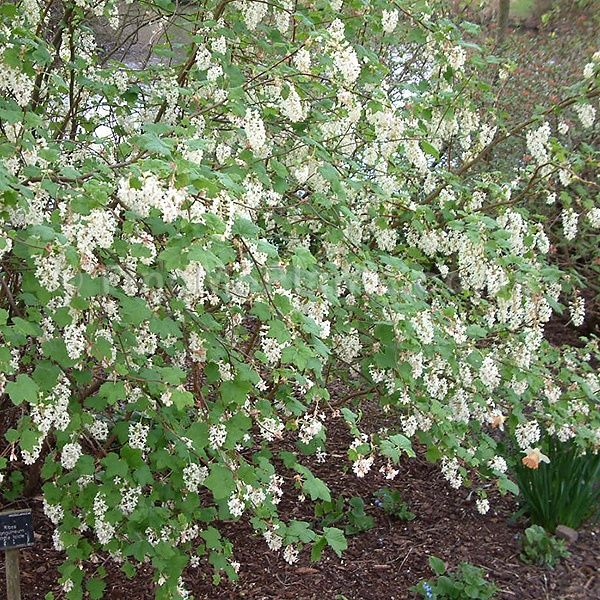 Ribes elkingtons white white flowering currant exclusive new ribes elkingtons white white flowering currant exclusive new mightylinksfo