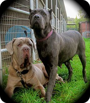 Differences Between Cane Corso And Neapolitan Mastiff Cane Corso Neapolitan Mastiffs Mastiffs