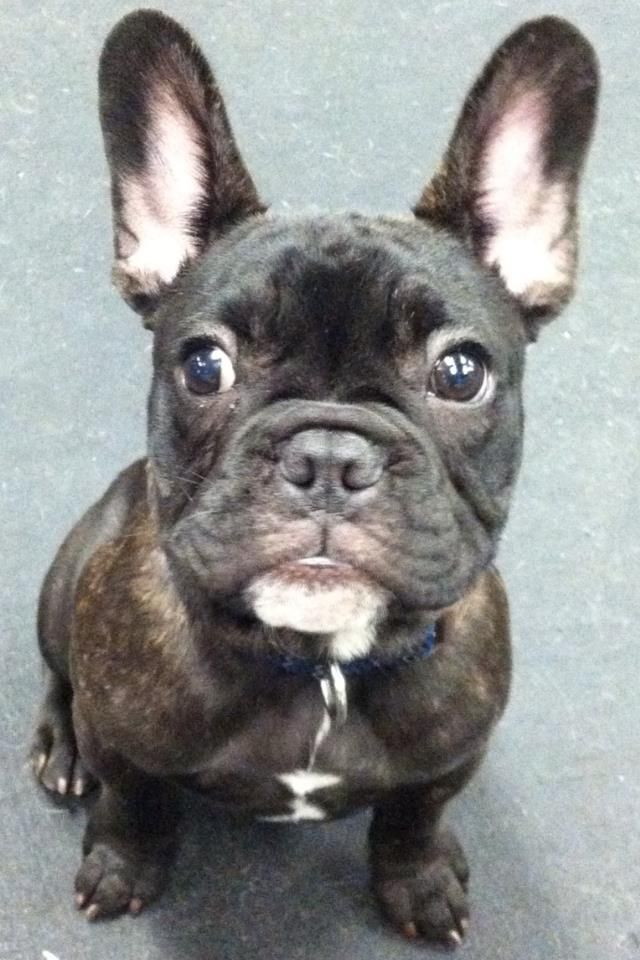Moby The French Bulldog Puppy Play Group In New York City At