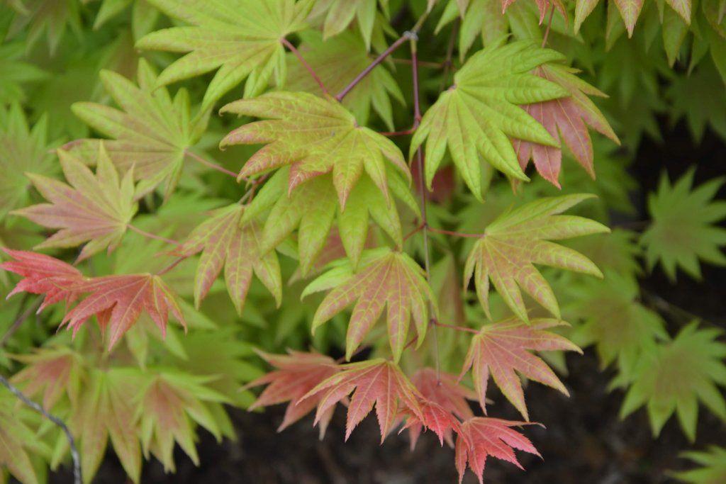 Acer shirasawanum Moonrise™ Full Moon Japanese Maple #japanesemaple