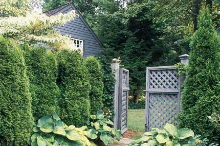 Immergrüne Sichtschutzwände – 2019 #sichtschutzpflanzen