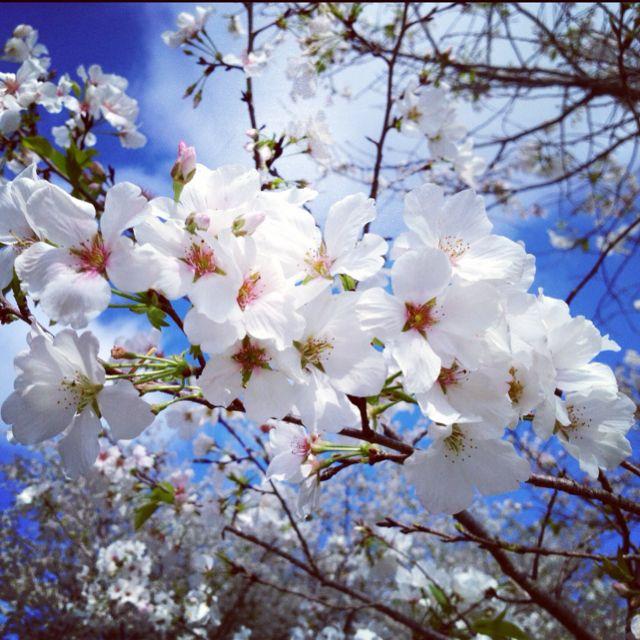 Cherry Blossoms Special Flowers Blossom Cherry Blossom
