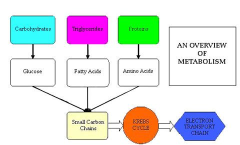 Energymetabolism In This Diagram We See Energymetabolism Which