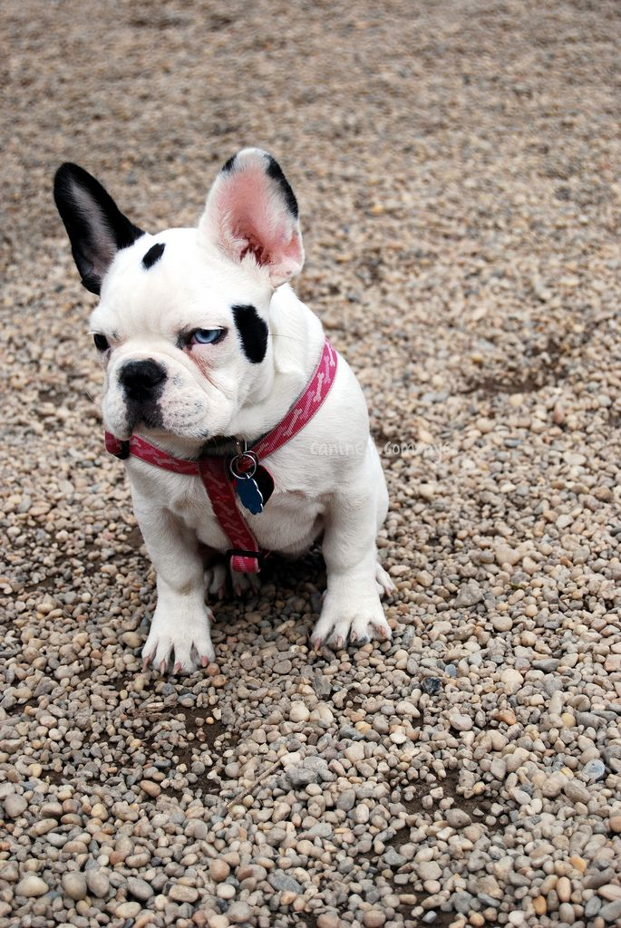 canined black white french bulldog puppy dog pictures us