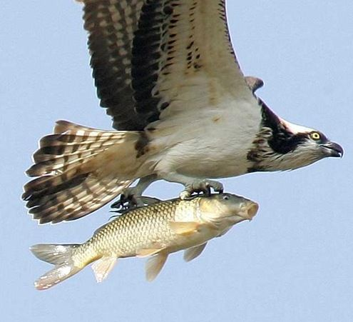 Osprey dive into the water to catch fish. Its really cool to see.