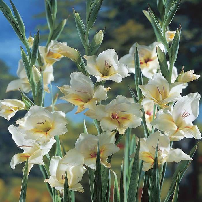 Asparagus Fern Bonsai Flower Bulb Flowers Gladiolus