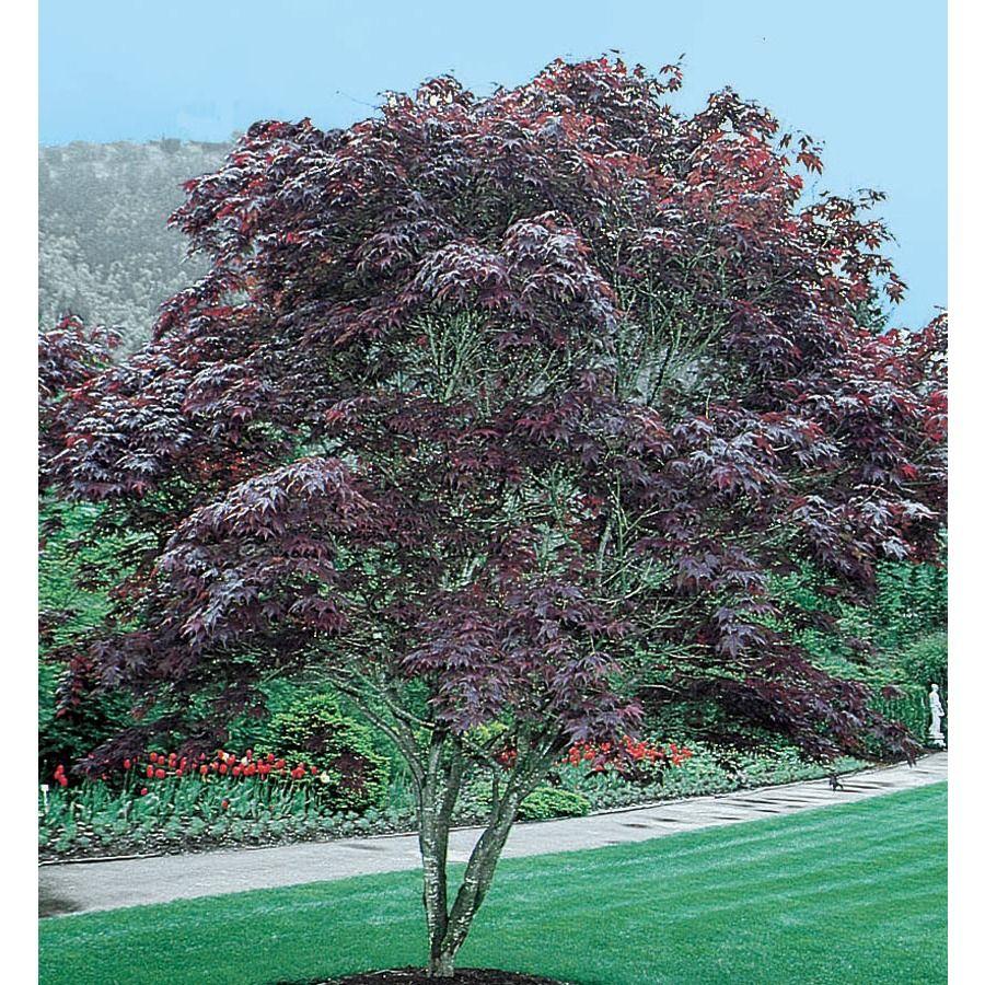 12 07 Gallon Bloodgood Japanese Maple Feature Tree L1088 Nursery