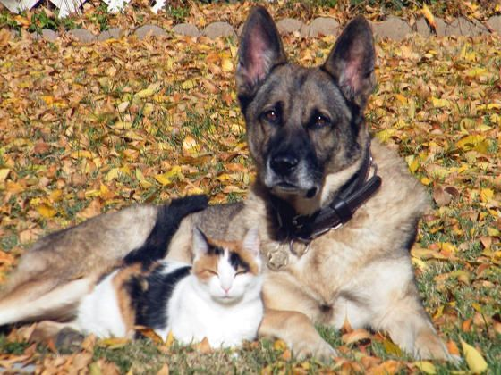 Calico Cat And Her Personal Guard Dog Dog Love Guard Dogs Dogs