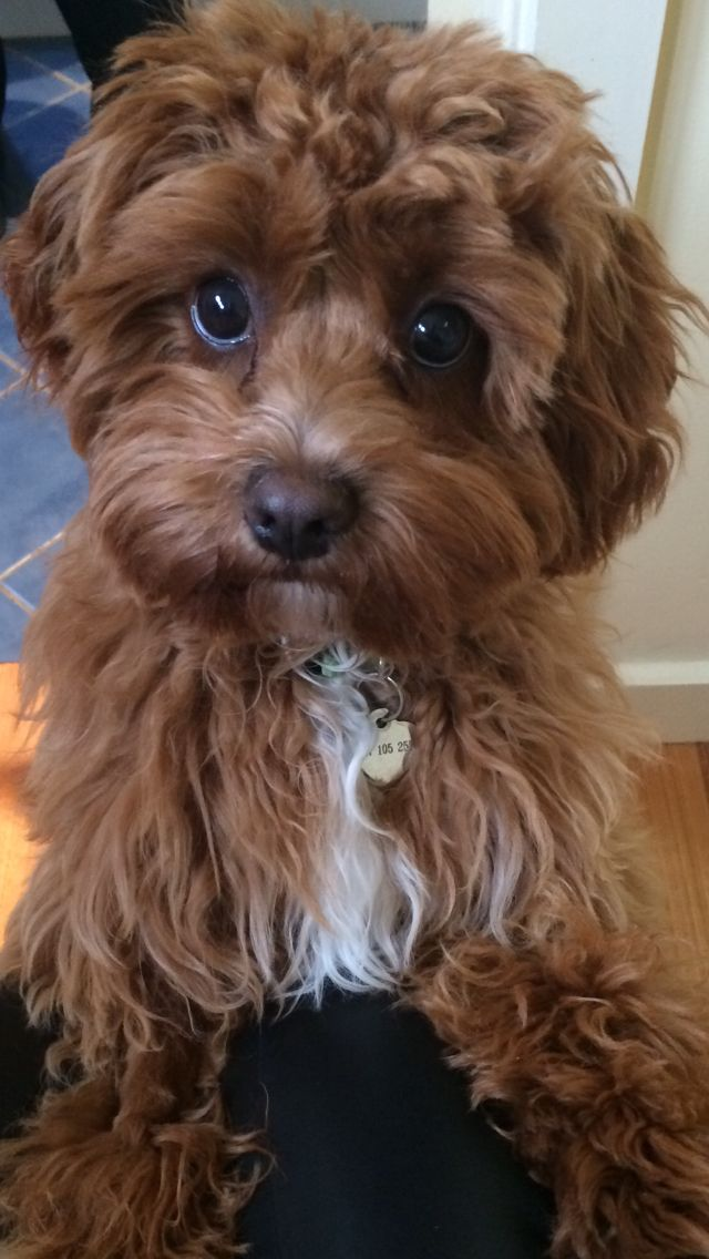 Pinterest Christabel Nf08 In 2020 Cavapoo Puppies Puppies Cute Dogs