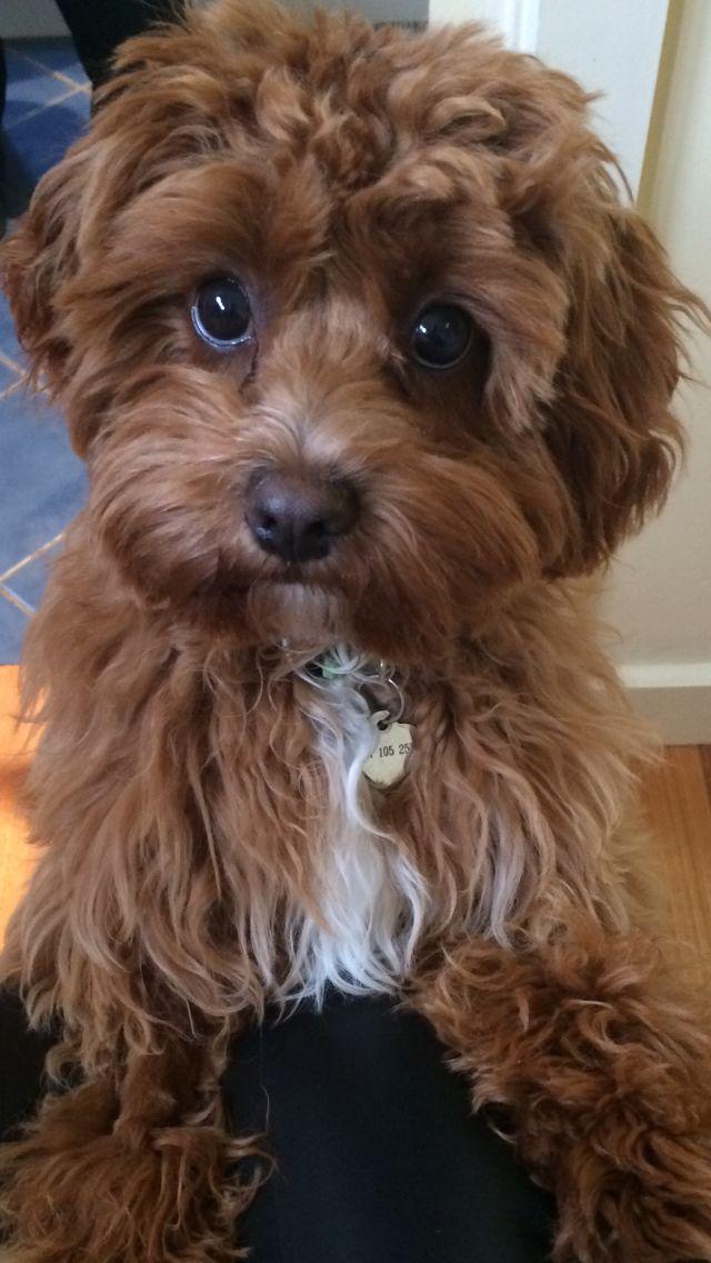 // Pinterest; christabel_nf08 // Cavapoo puppies, Cute