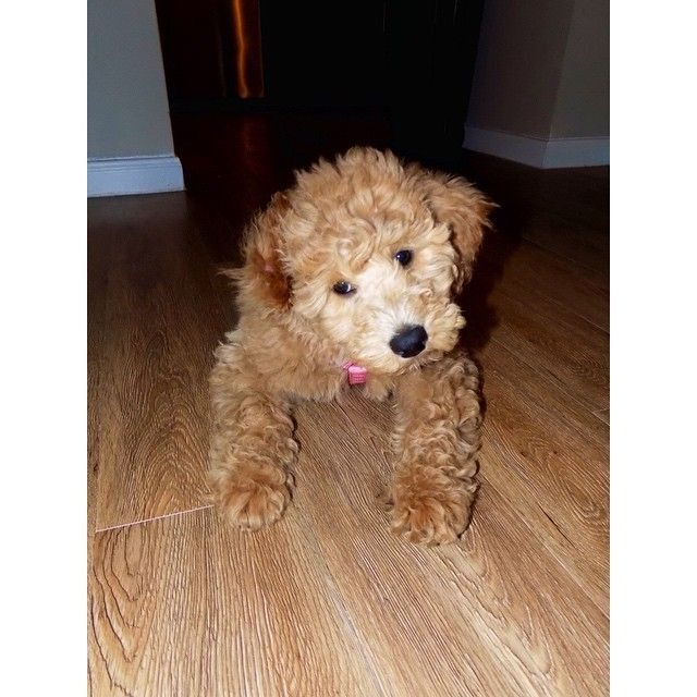 Puppy Love Goldendoodle Golden Retriever And Poodle Cross