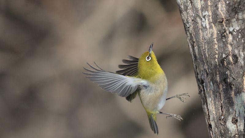 メジロさん 野鳥 鳥 野鳥観察