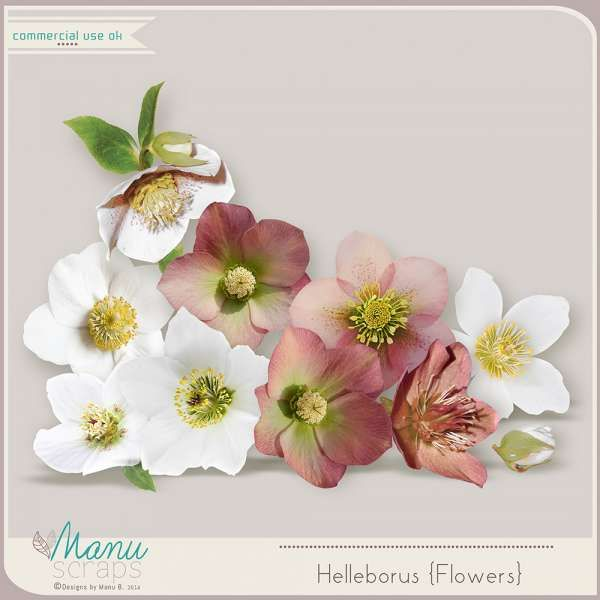 Digital Art :: Element Packs :: CU Helleborus {Flowers}