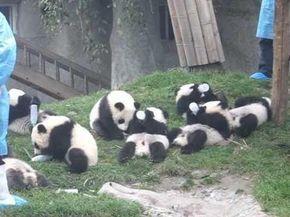 8 cachorros de oso panda disfrutando de su biberón