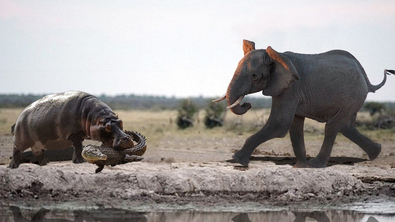 Vid Amazing Elephant Rescue Crocodile From Hippo Animals Save