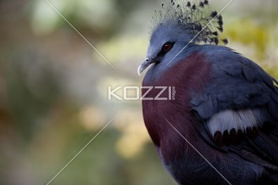 victoria crowned pigeon portrait - Portrait photo of the Victoria Crowned Pigeon while resting on a tree branch.