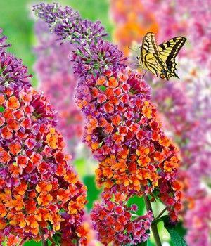 Buddleia 'Flower Power'