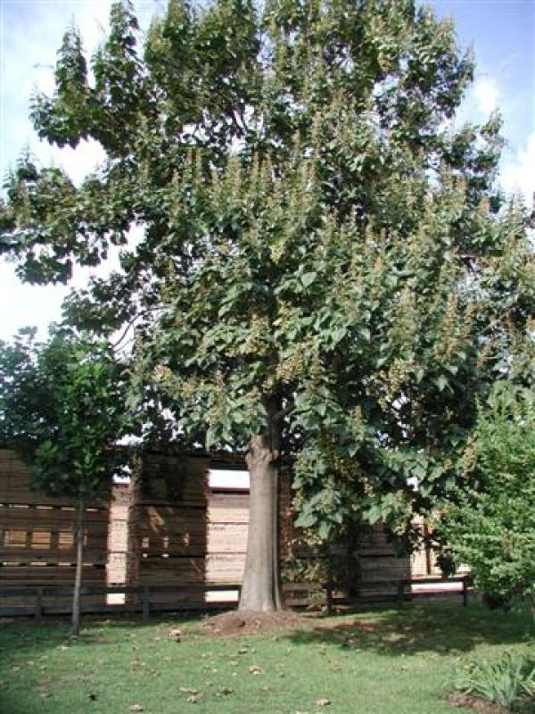 Non Invasive Empress Tree Ornamental Incredibly Fast Growth Rate Used For Wood
