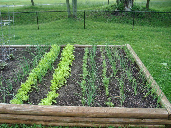 Lettuce Onion And Carrots Great Companion Plants 400 x 300