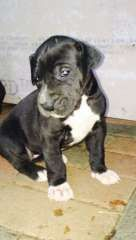 Great Dane Puppies Great Dane Puppies For Sale Coonamble New