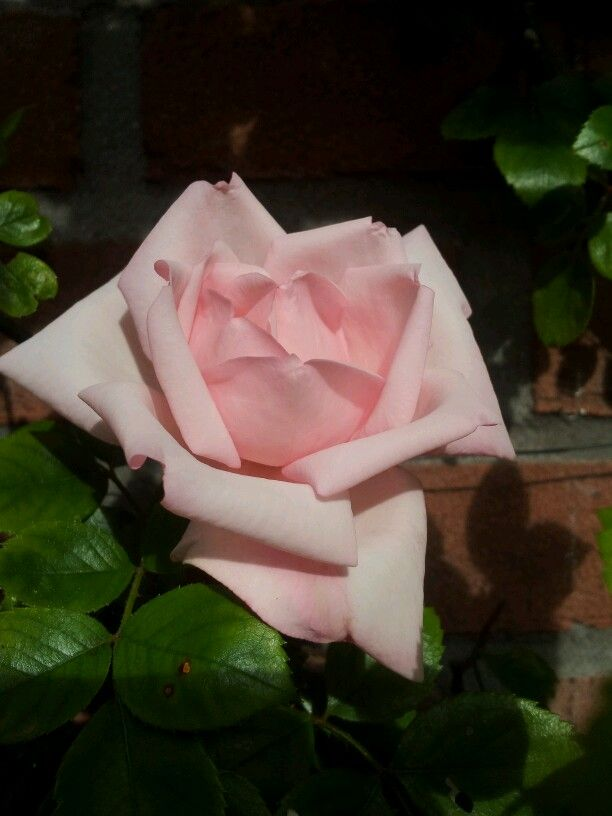 Rosa New Dawn. Eerste bloei in 2013 op 15 juni.