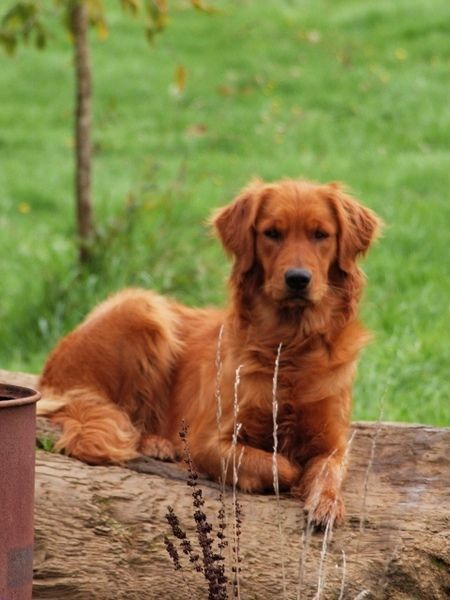 A Red Golden Retriever. I want a female and I will name ...