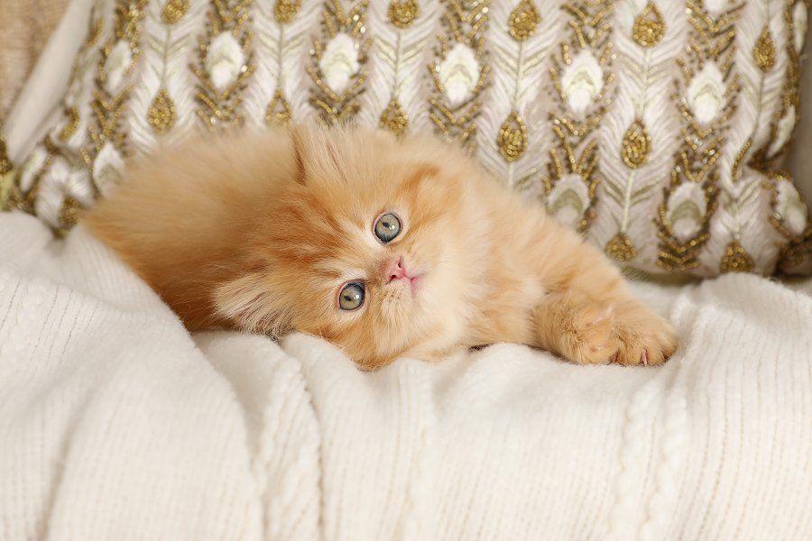 Persian Kittens Twiggy Red Tabby Male Persian Kitten Www Luxurypersians Com Meet Twiggy Our Darling Red Tabby Male P Cats Beautiful Cats Persian Kittens