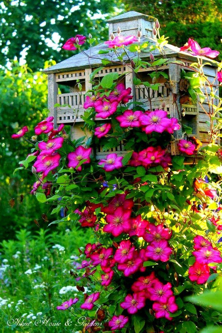 Climbing Clematis Hot Pink Gardens Pinterest Clematis