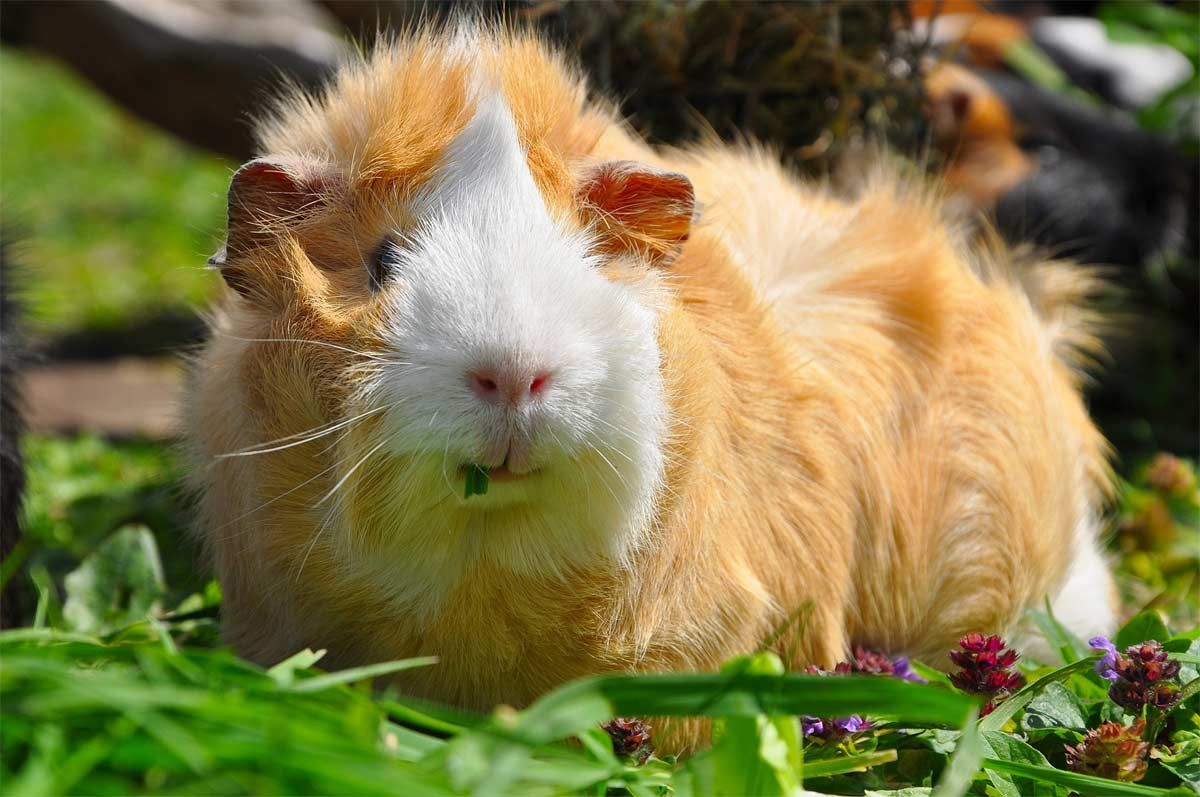 Pin On Guineapigs4ever